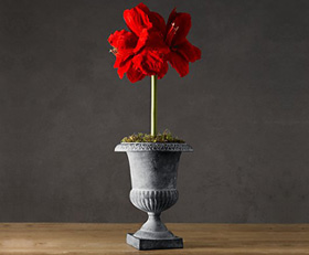 Red lion amaryllis bulb kit