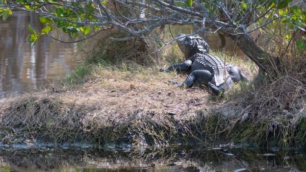 Places in Florida to View Wild Alligators: Merritt Island National Wildlife Refuge