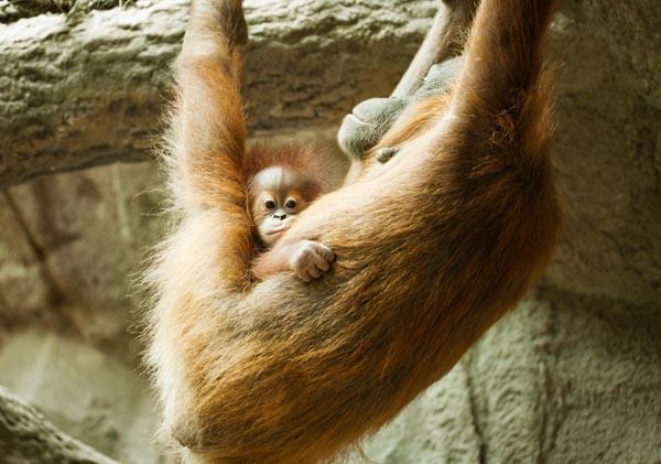 baby-and-mom-orangutang