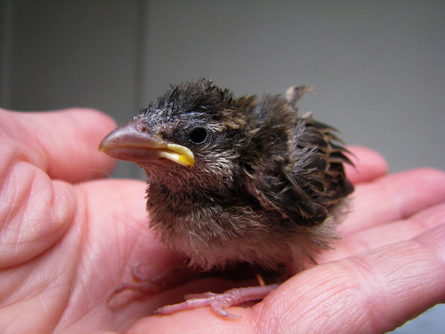 baby bird in a human hand