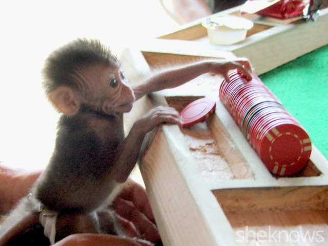 Monkey playing poker