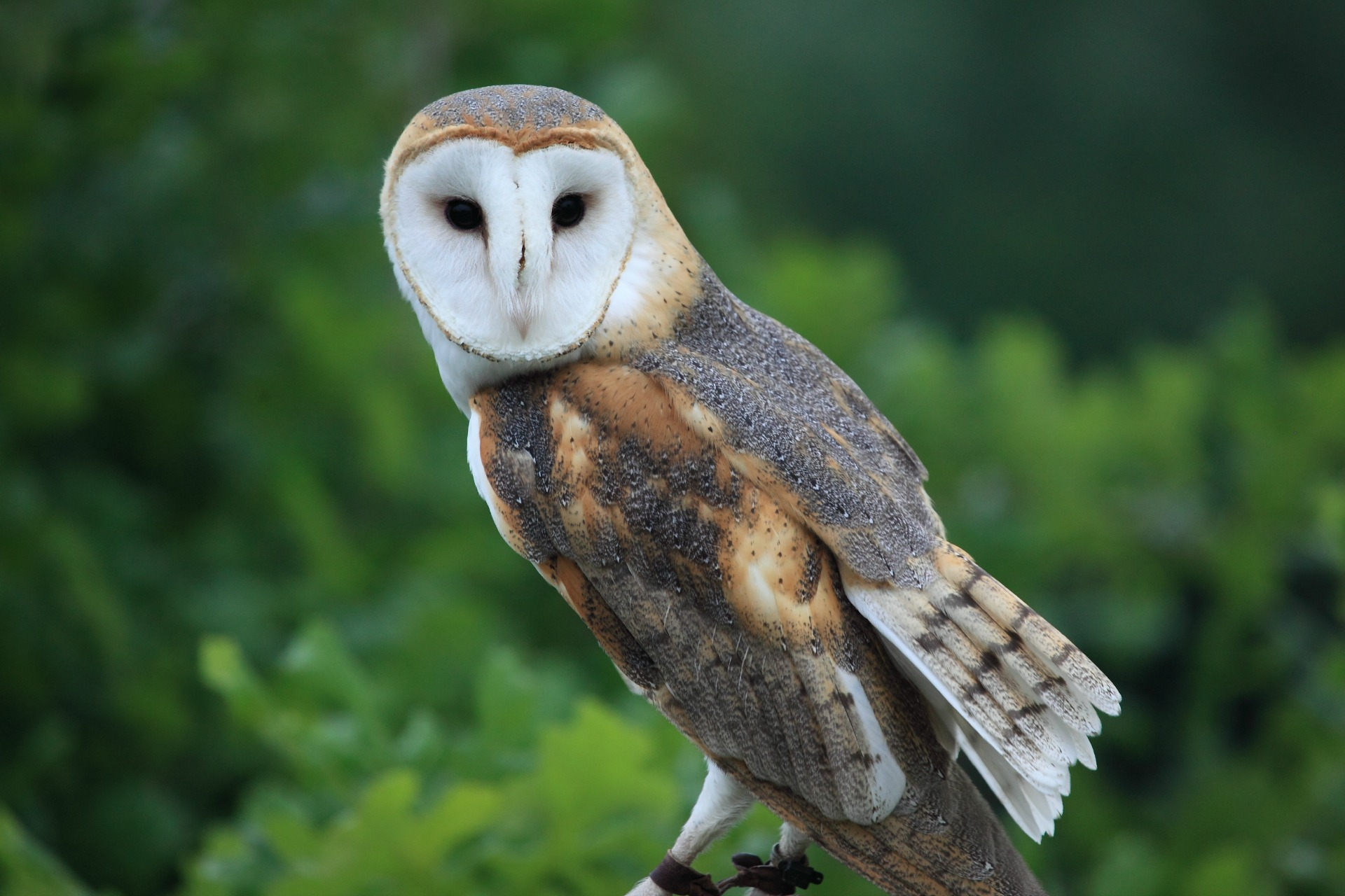 Should the barn owl be the UK's national bird?