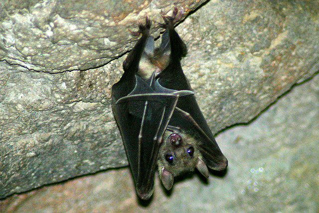 bat hanging upside down in a cave