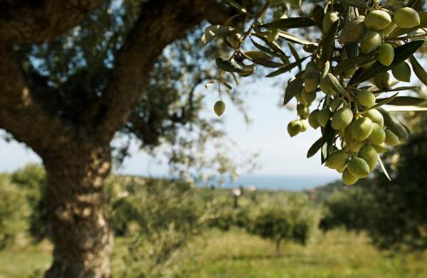 A guide to olive oils from