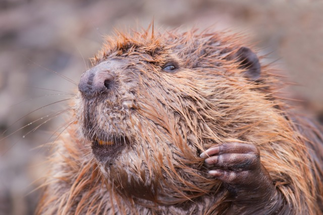 beaver testicles as birth control
