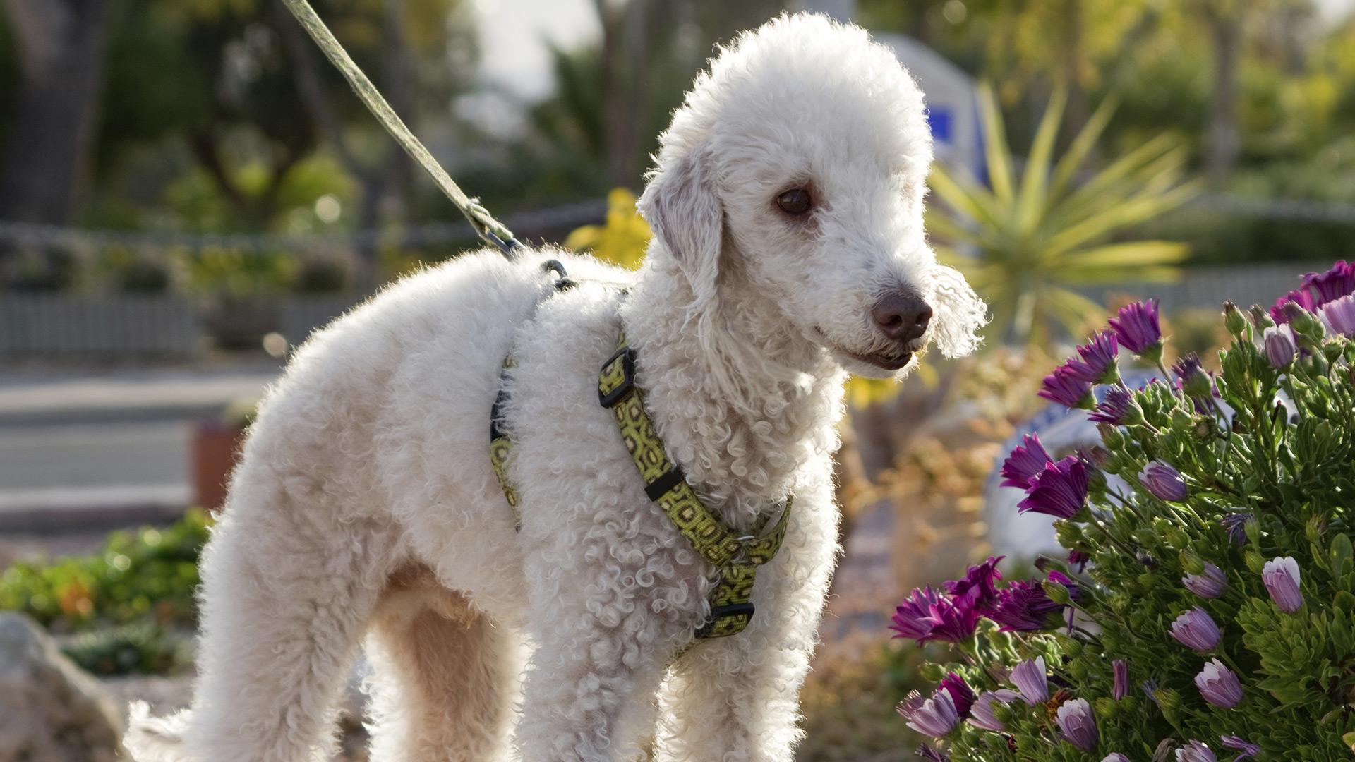 Bedlington Terrier | Sheknows.ca