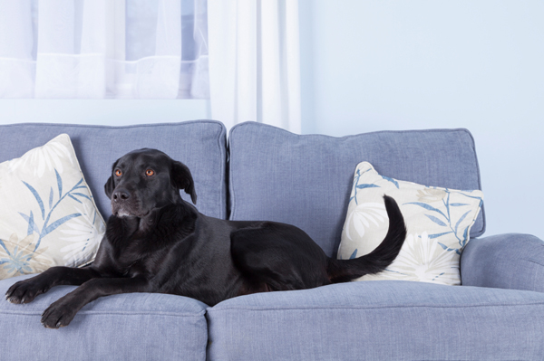 Black Dog On Couch