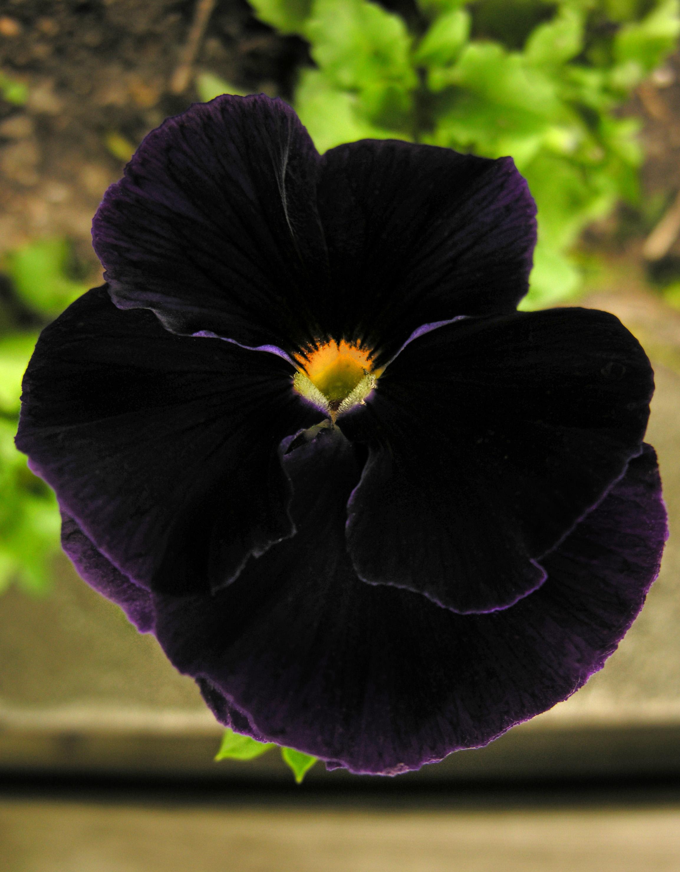 Black pansy