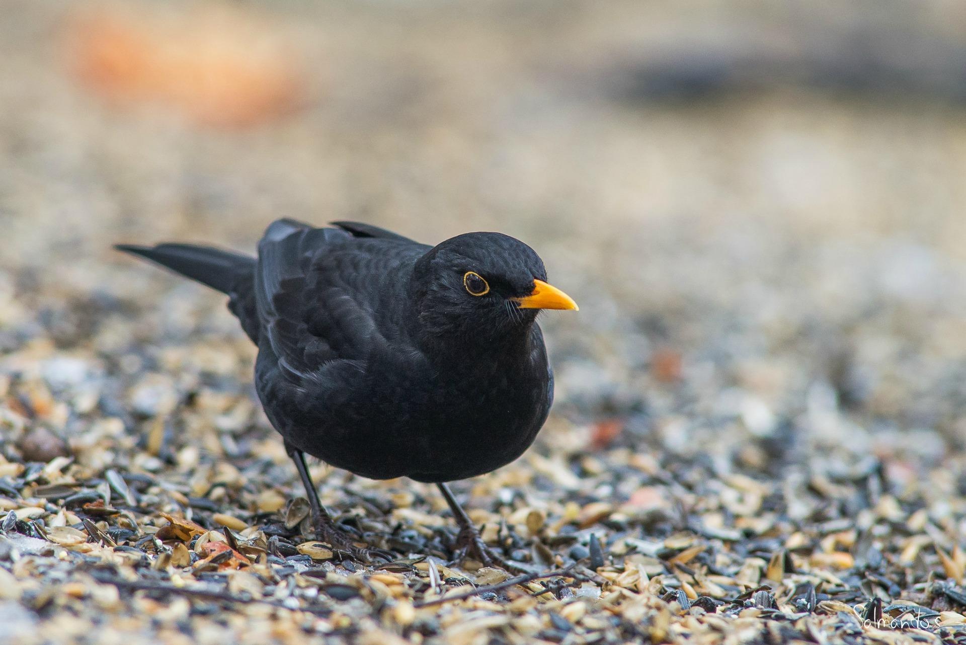 Should the blackbird be the UK's national bird?