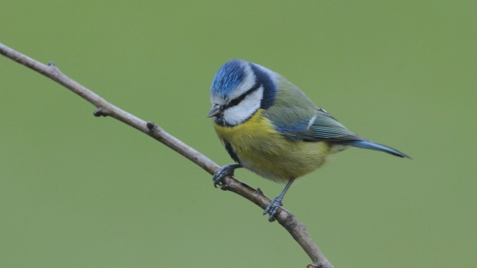 What should Britain's national bird be?