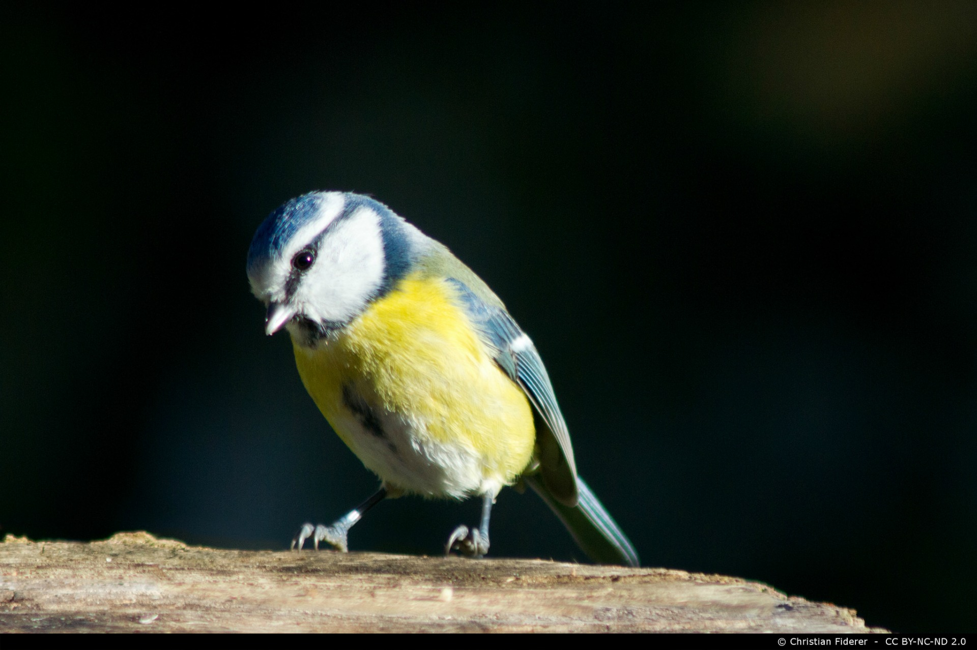 Should the blue tit be the UK's national bird?