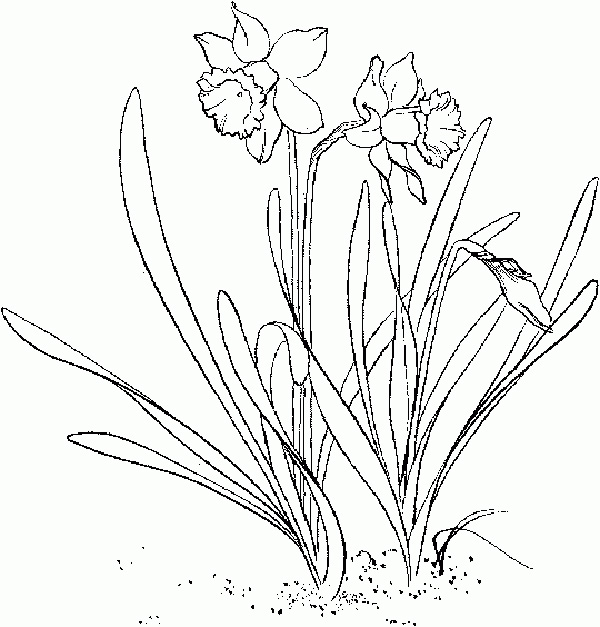 Spring daffodils coloring page