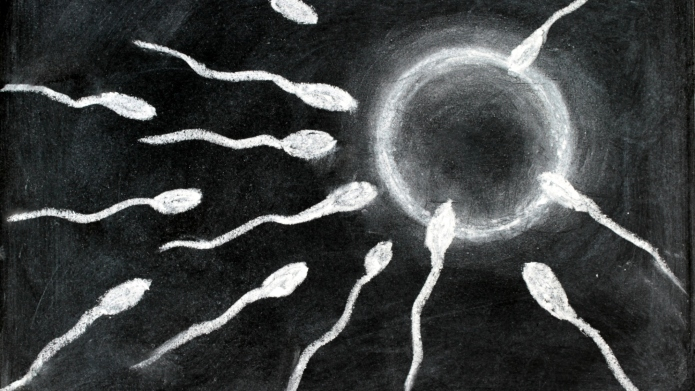 Fertilization of sperm and egg drawing