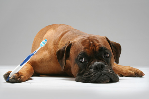 Boxer with Toothbrush