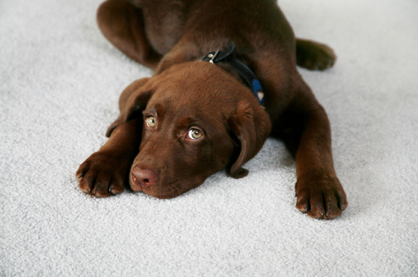 Brown lab laying on floor