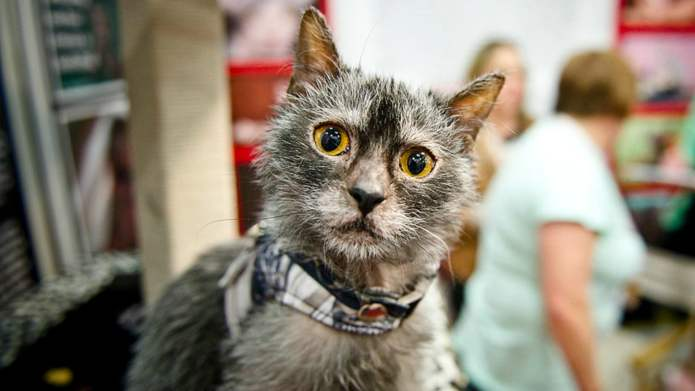 The Lykoi Werewolf Cat Is the