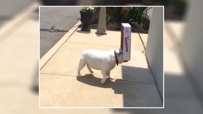 Bulldog playing with a cardboard box