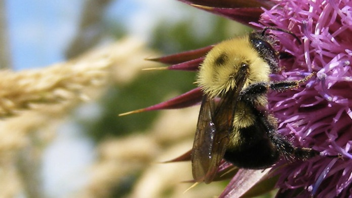 Bumblebees becoming endangered (and possibly extinct)