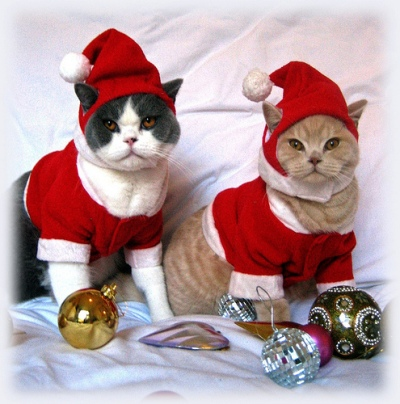Cat's wearing Christmas outfits