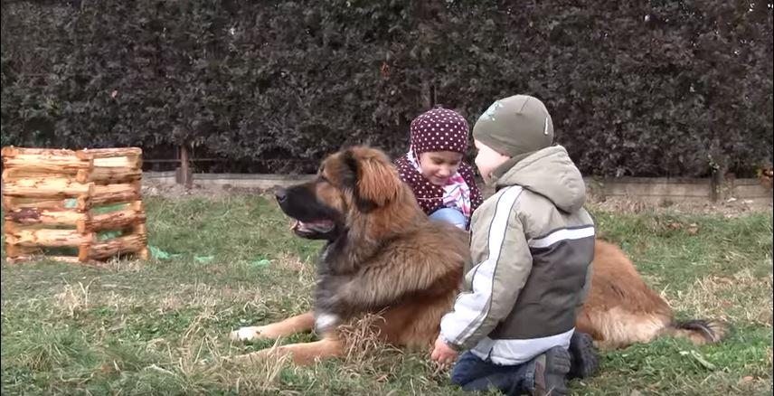 caucasian ovcharka family dog