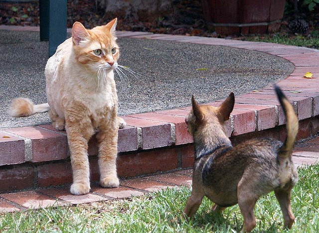 chihuahua threatening larger cat