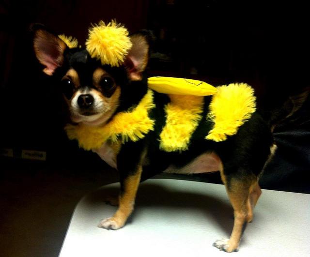 chihuahua dressed like a bumblebee