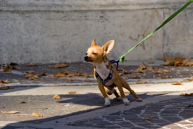 chihuahua pulling on leash