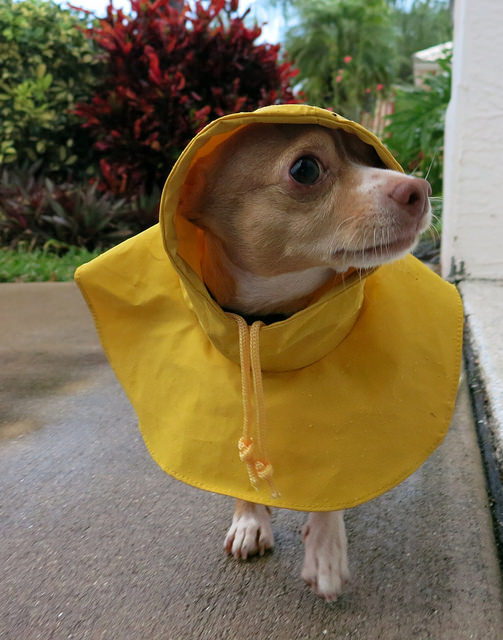 chihuahua in a raincoat
