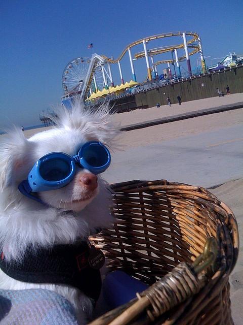 chihuahua wearing sunglasses