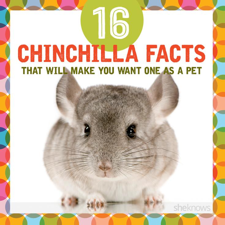 Awesome chinchilla facts