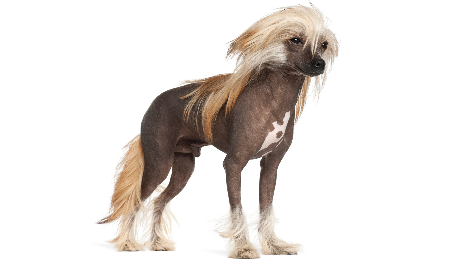Chinese crested | Sheknows.ca