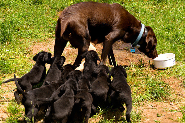 Chocolate Lab and Puppies