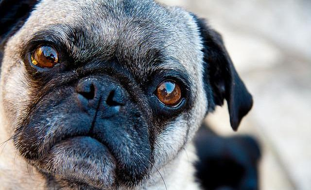 17 Things only pug owners know
