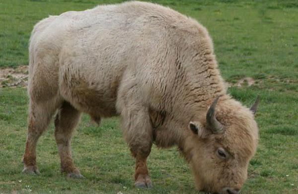 Tupelo Buffalo Park & Zoo –