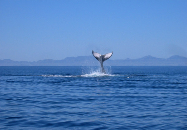 Just a fluke - Whale