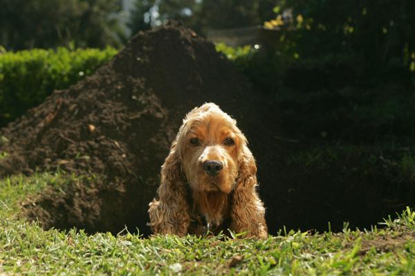 Cocker spaniel digging