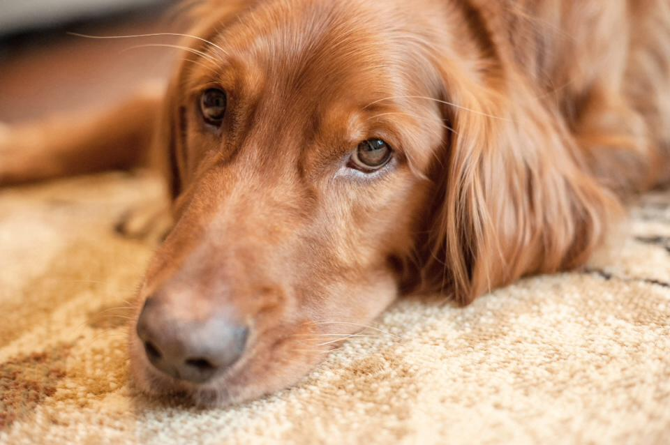 Pet Cancer Corbin Depressed