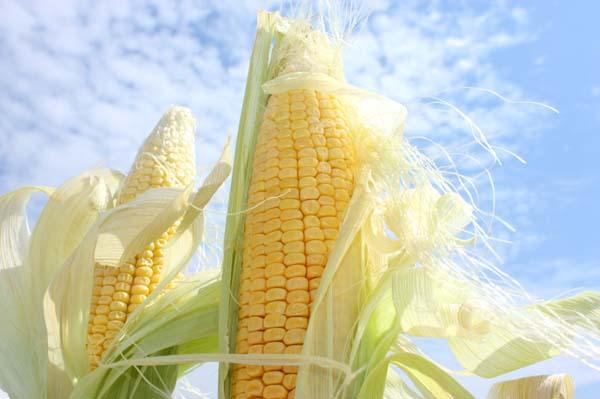 Fresh corn growing in a field