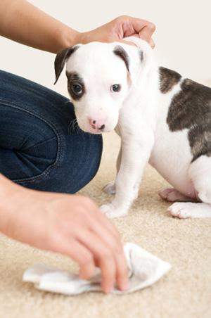 pet urine stains out of the carpet