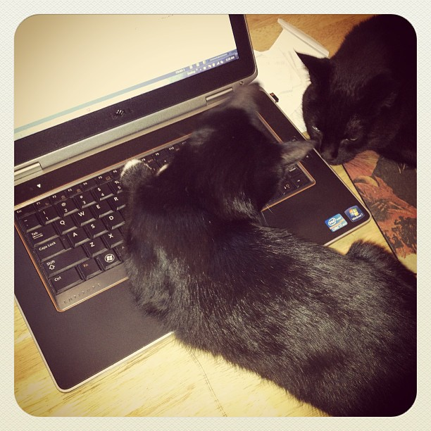 cats on laptop