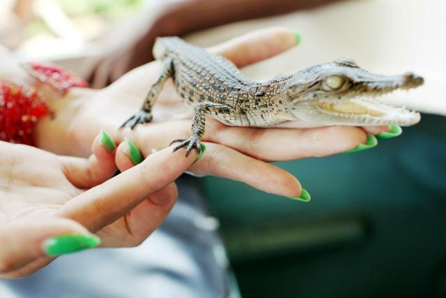 Crocodile poop as birth control