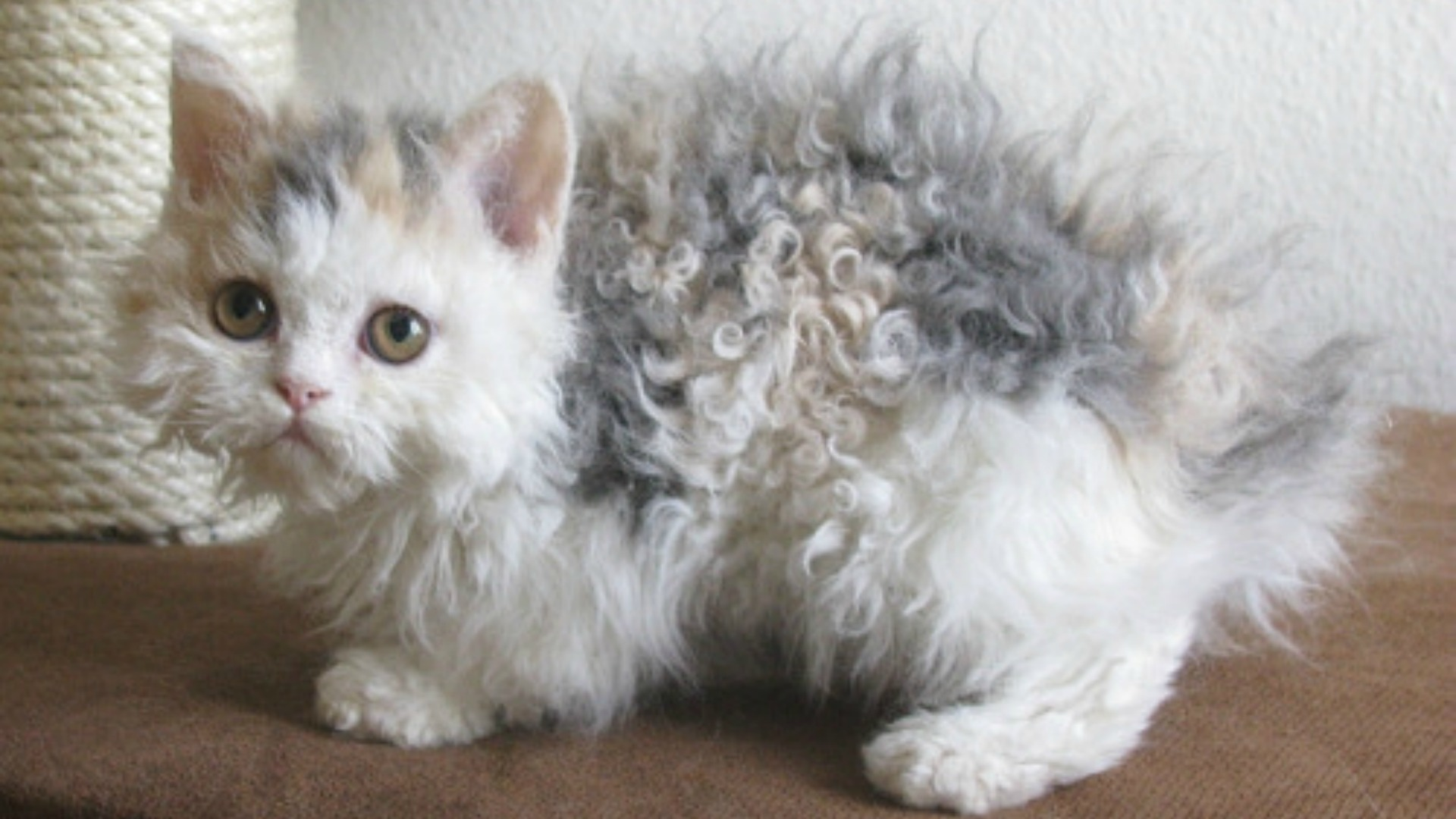 The breed of curly cats is called