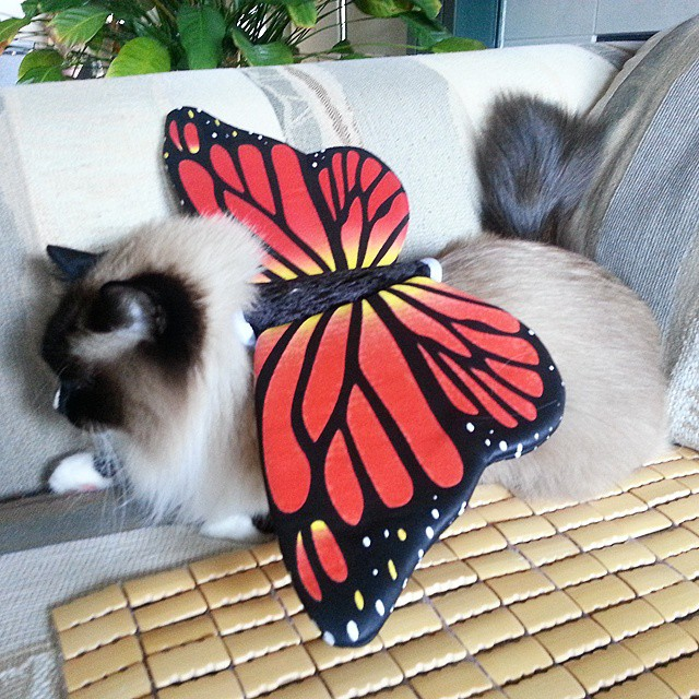 Image result for cat butterfly costumes