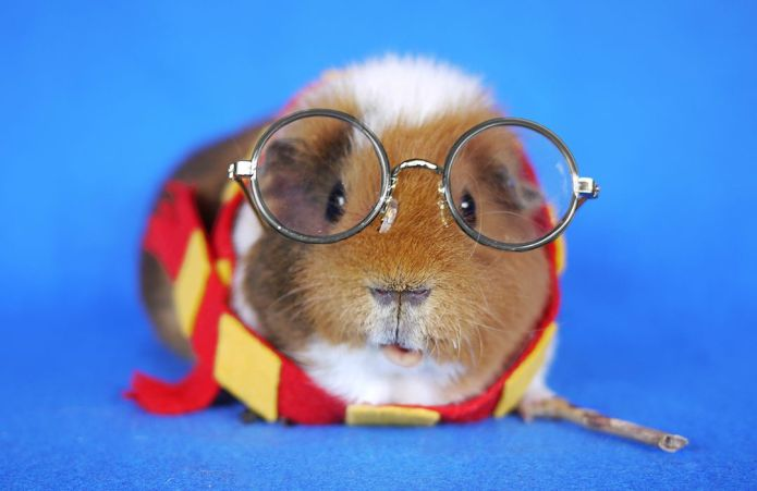 Guinea pig dresses up in the