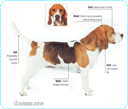 Meet The Beagle