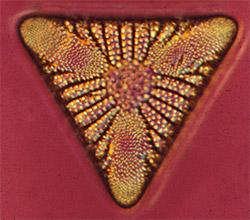 microscopic diatom