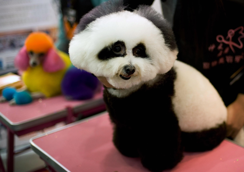 Dog groomed as panda
