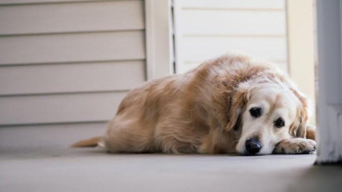 11 Dog Cancer Symptoms You Should