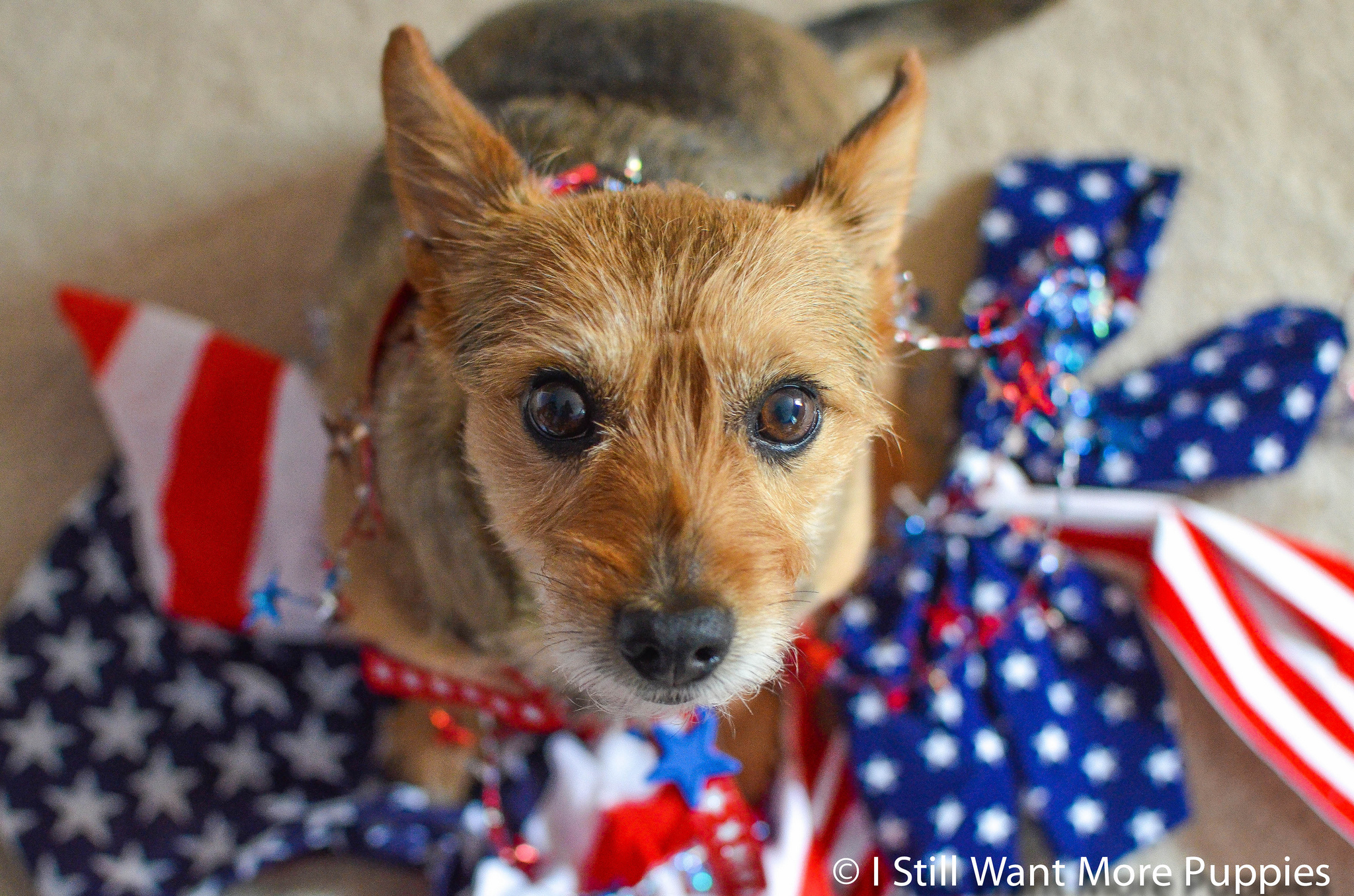 Patriotic dog with streamers