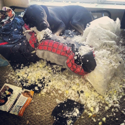 Dog destroying couch cushion